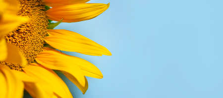 Beautiful fresh yellow sunflower macro shooting. Sunflower blooming Close-up. Sunflower on blue sky background. Flower card wallpaper. Harvest time, agriculture, farming. Yellow flower petals seeds 免版税图像