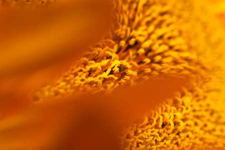 Beautiful fresh yellow sunflower macro shooting. Sunflower blooming Close-up. Sunflower natural background. Flower card, wallpaper. Harvest time, agriculture, farming. Yellow flower petals, seeds