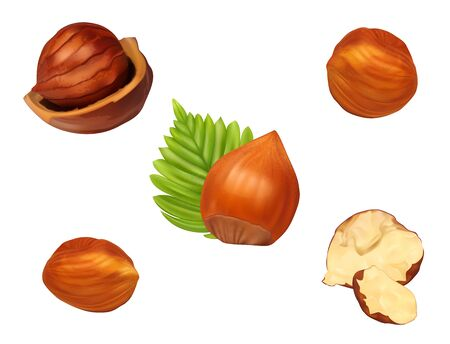 Hazelnut set with leaves.Realistic vector illustration. Fresh organic filbert isolated on white background. Closeup for package design.