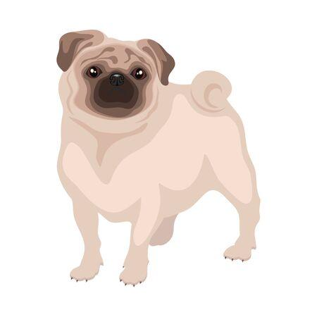 wrinkle: little decorative dog pug