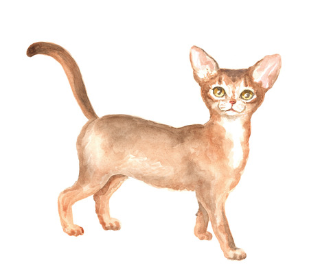thoroughbred: the Abyssinian kitty. Image of a thoroughbred cat. Watercolor painting