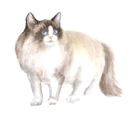 ragdoll: the ragdoll cat. Image of a thoroughbred cat. Watercolor painting