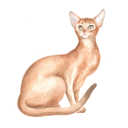 abyssinian cat: the sitting Abyssinian cat. Image of a thoroughbred cat. Watercolor painting