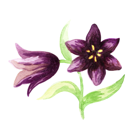 Hand drawn image of the Kamchatka lily on a white background. Northern wild flower. Watercolor painting. Stock Photo