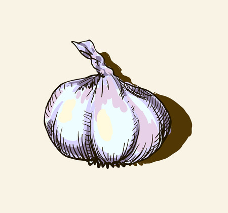 Vector garlic Vector