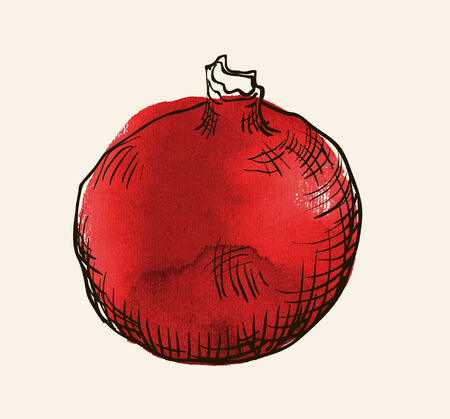 pomergranate: Vector watercolor hand drawn vintage illustration of pomergranate