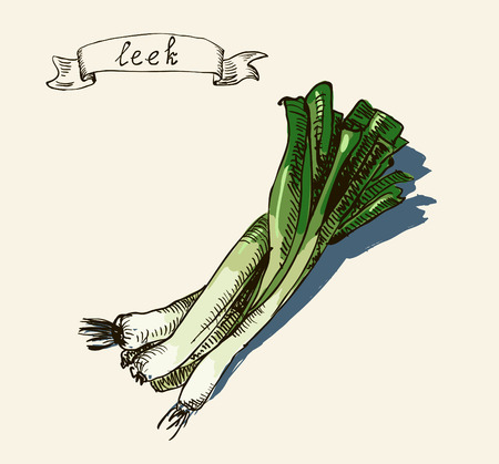 Vector watercolor hand drawn vintage illustration of leek