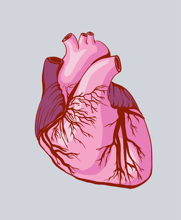 left ventricle: Vector drawing of the heart, anatomical
