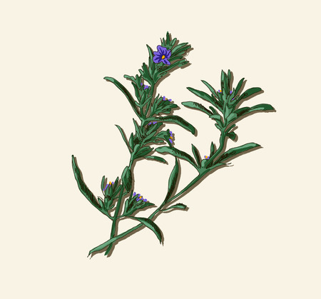 Rosemary twig Vector