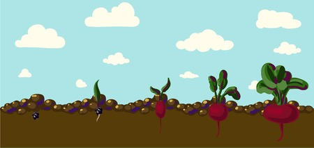 beets: Set of realistic vegetables beets with green leaves isolated on white background Illustration