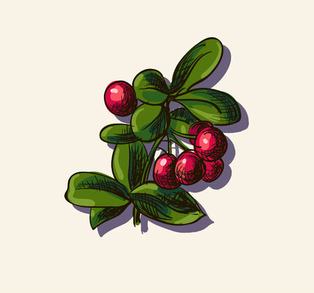 cowberry: Vector illustration drawing of organic cowberry