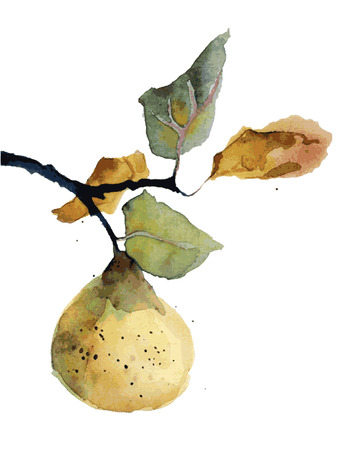 Watercolor vector illustration of organic fruit pear