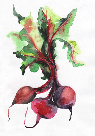 beet root: Watercolor image of beet root on white background.