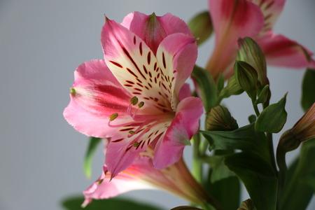 Beautiful flowers of Peruvian lily ALSTROEMERIA PLANT