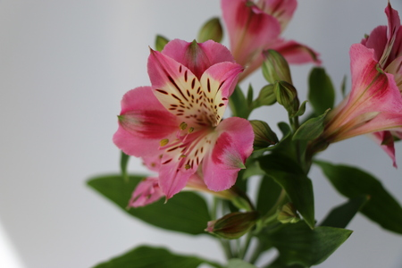 Beautiful flowers of Peruvian lily ALSTROEMERIA PLANT. Pink with yellow throat.