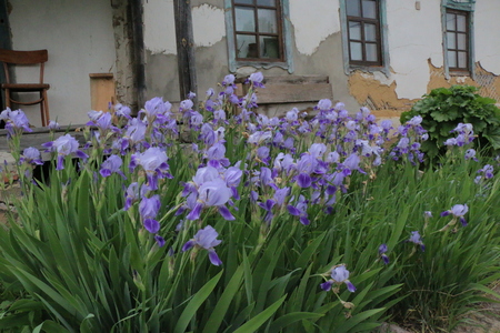 iris flowers, a beautiful spring flower bright color is different shades Stock Photo