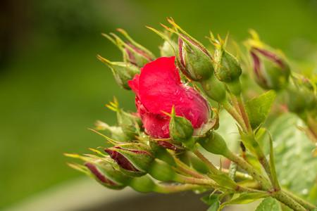 gotas de agua: tea rose garden in the summer in Ukraine. Flowers with raindrops on petals and leaves
