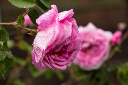 fragrant: tea rose garden in the summer in Ukraine. Flowers with raindrops on petals and leaves