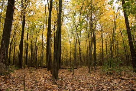 natural wild Deciduous forest in autumn from birch, oak, aspen, maple. Sumy region, Ukraine