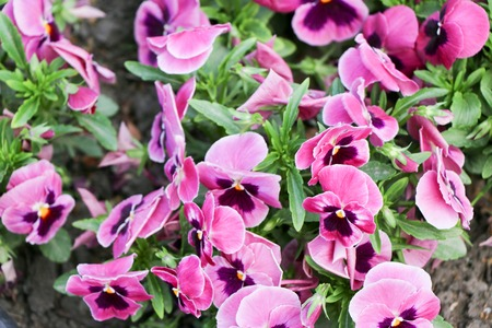 Pansy Flowers vivid spring colors against
