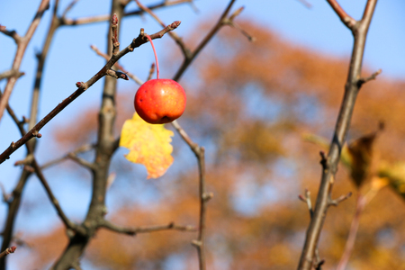 Small Red Apples And Blue Sky. Malus floribunda. Imagens