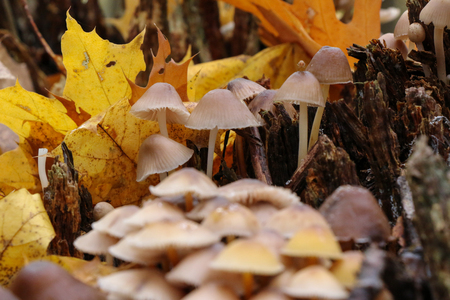 Mushrooms Mycena alcalina on the old stump in the autumn in the forest, macro photography.