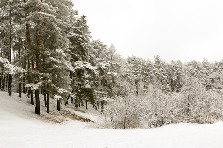 snow covered pine tree forest in nature during snow storm