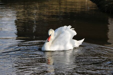 White swan in a water scene. Swan in the water. View of a white swan. Scene of a lone white swan swimming and cleaning feathers