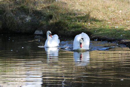 White swan in a water scene. Swan in the water. View of a white swan. A pair of swans swimming in a pond, romantic scene