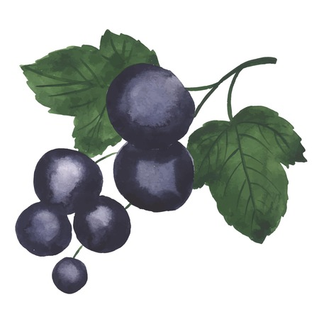 Hand drawn illustration of Blackcurrant. Watercolor made in vector. Ilustração
