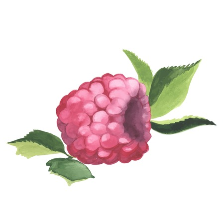 wild berry: Hand drawn illustration of Raspberry. Watercolor made in vector. Illustration
