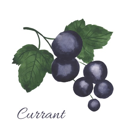 currants: Hand drawn illustration of Blackcurrant. Watercolor made in vector. Illustration