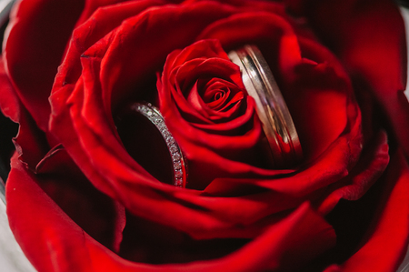 Wedding golden rings in the red rosebud closeup 스톡 콘텐츠