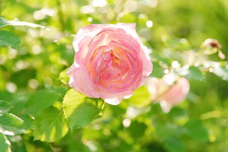 A gentle pink rose in sunlight. The blossoming summer garden. Botany. Fresh flowers. Soft focus