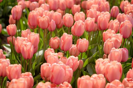 Red beautiful tulips field in spring time close-up. Beautiful floral background 版權商用圖片