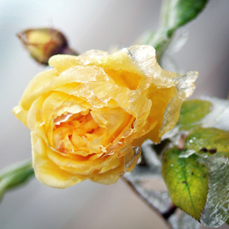 Yellow flower with ice and snow  winter picture  photo