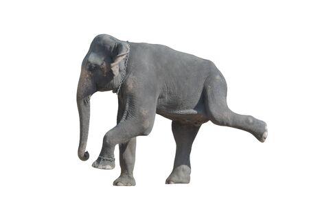 brute: Danza grigio elefante (isolata, su sfondo bianco) Archivio Fotografico