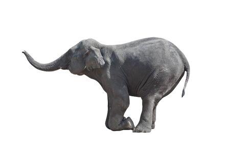Kneeled grau Elefant (isoliert, vor weißem Hintergrund)