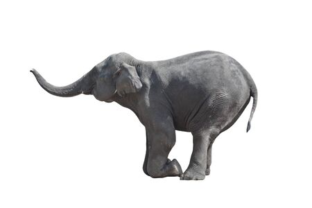 kneeled: Kneeled grey elephant (isolated, against white background) Stock Photo