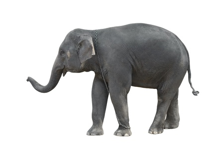 Standing grey elephant (isolated, against white background) photo