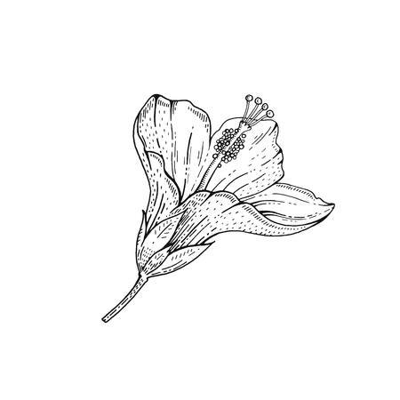 Summer Hibiscus tropic flower. Exotic herb plant, hand drawn vintage style. Doodle vector illustration isolated white. Trendy line art for coloring book, t-shirt print, card design, logo, tattoo Logo