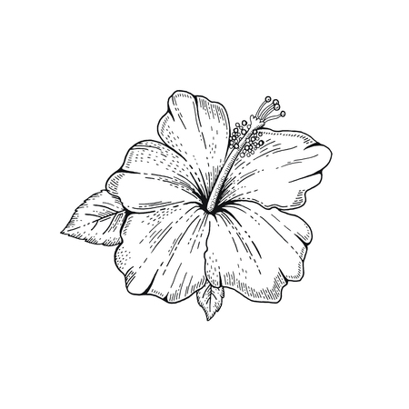 Summer Hibiscus tropic flower. Exotic herb plant, hand drawn vintage style. Doodle vector illustration isolated white. Trendy line art for coloring book, t-shirt print, card design, logo, tattoo Illustration