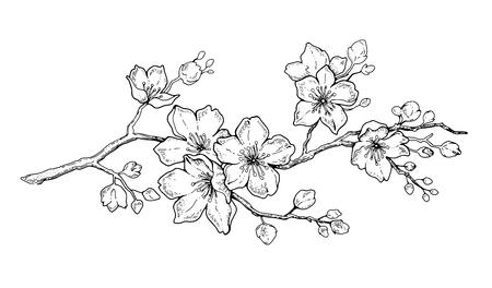 Fiore di ciliegio, arte botanica. Mandorla primaverile, sakura, ramo di melo, illustrazione vettoriale di doodle di tiraggio della mano. Arte carina inchiostro nero, isolato su sfondo bianco. Schizzo di fioritura floreale realistico. Vettoriali