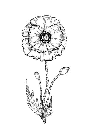 Poppy Flower. Vector sketch. Black outline floral illustration on white. Line drawing art in botanical vintage style. Hand drawn Plant silhouette. Isolated abstract nature icon