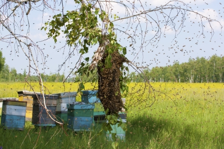 blossom honey: swarm of bees  Stock Photo