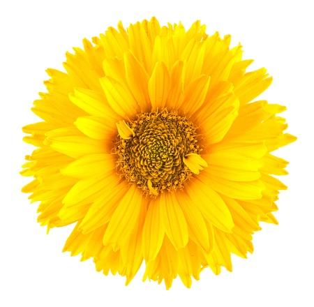 yellow  agriculture: Margarita amarilla flor