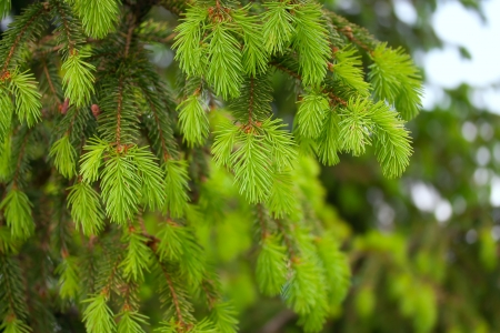 christmas scenic: Young branches of spruce
