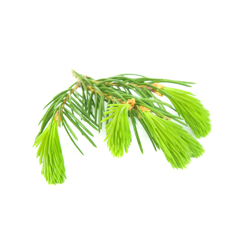 isolado no branco: Pine branch isolated on white background Banco de Imagens