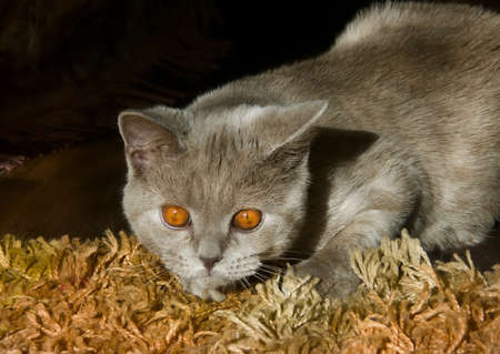 froze: British shorthair cat lilac with yellow-orange eyes froze in a hunting posture on the floor
