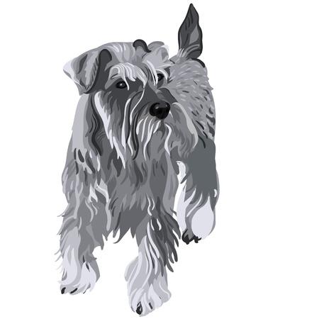 vector dog breed Miniature Schnauzer color pepper and salt Vector